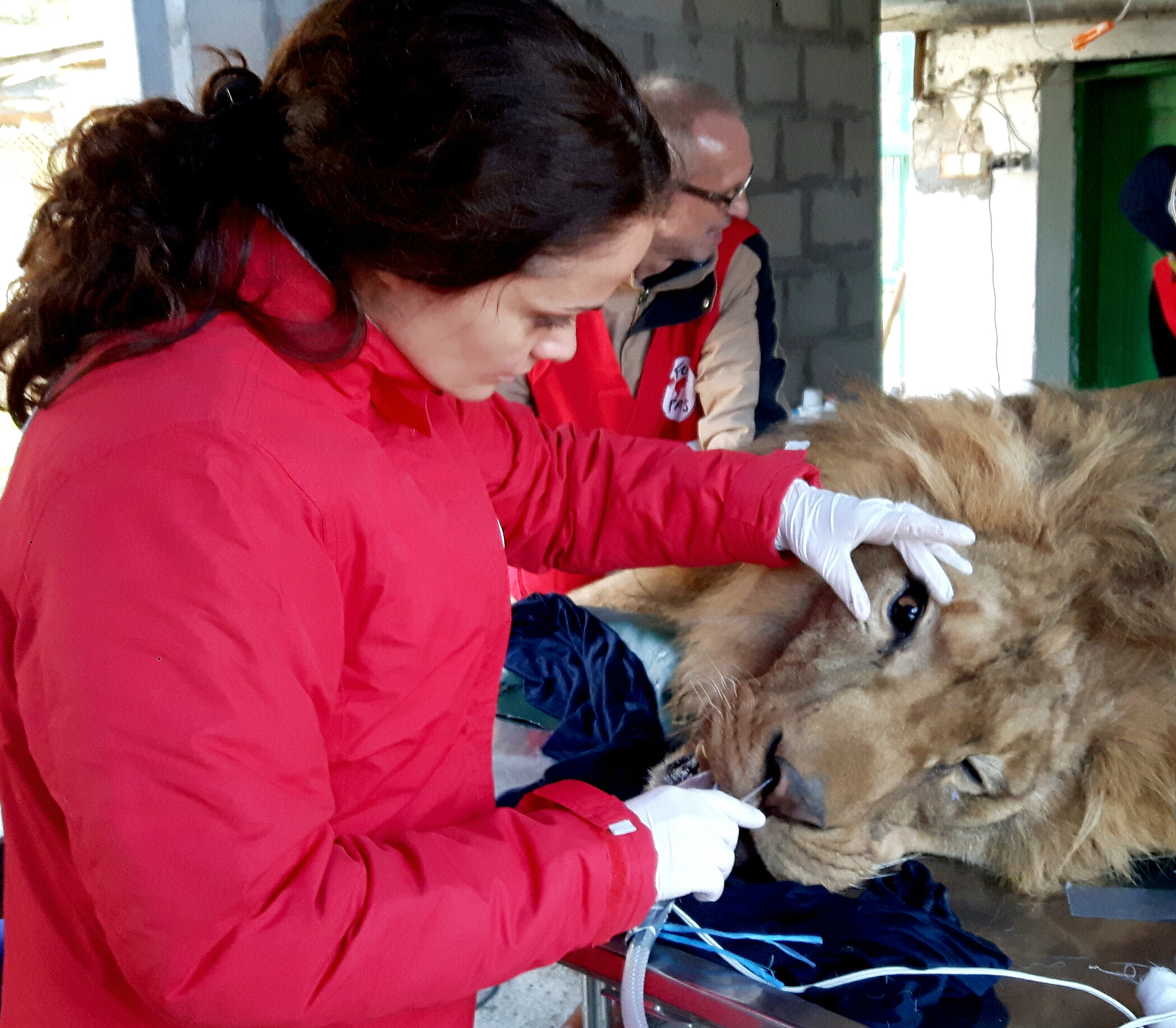Dr. Maria Savova performed the ophthalmological examinations of 5 lions